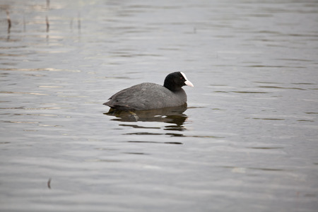 coot: coot swimming on a lake.