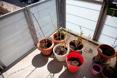 beings: berry bushes on the balcony. flower pots in the spring with the first leaves and buds.