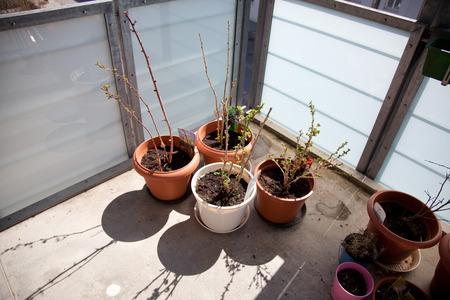 ser humano: arbustos de bayas en el balc�n. macetas en la primavera con las primeras hojas y brotes. Foto de archivo