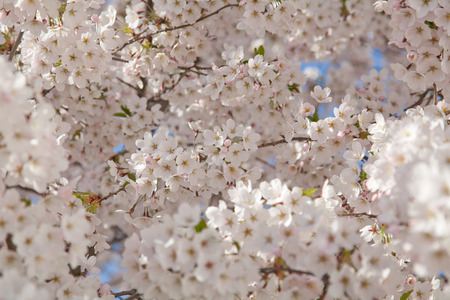 almond bud: cherry blossoms in a park on a tree in Germany. white petals on a spring day.