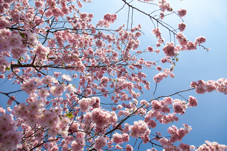 almond bud: almond blossoms in a park on a tree in Germany. pink petals on a spring day with blue sky.
