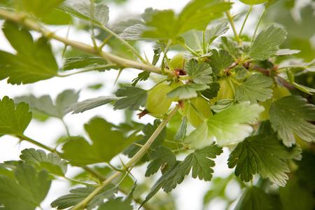 gooseberries: gooseberries in a bush