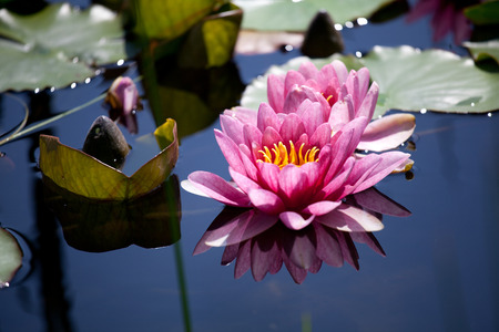 nymphaea: water lily, Nymphaea, swimming in a pond.