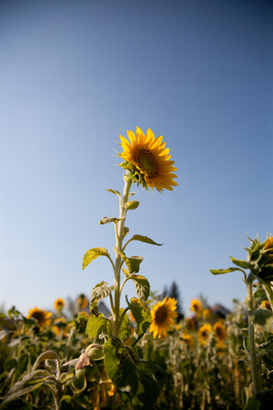 sunny day: sunflower field in late august. yellow flowers on a sunny day in summer. Foto de archivo