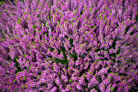 graves: heather flowers which are used on graves in fall wit purple color.