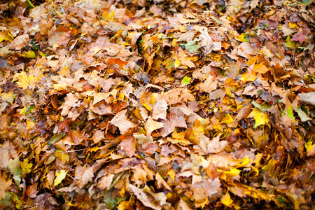 pile of leaves: pile of yellow autumn leaves.