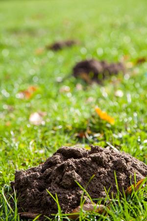 molehill: Molehill on a green grassy meadow. Stock Photo