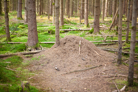 anthill: anthill in a forest in fall. Stock Photo