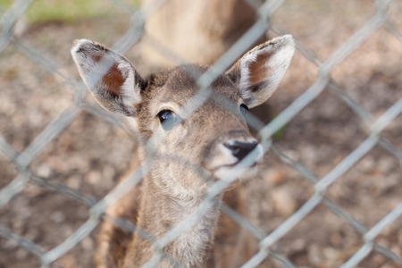 chainlink fence: Deer behind a chainlink fence in a zoo or park