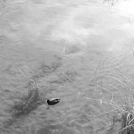 swimming bird: A coot bird swimming in a lake
