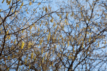 fever plant: hazel catkins at tree branches in spring with pollen.