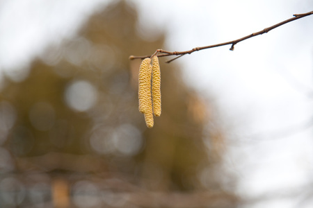 catkins: hazel catkins at tree branches in spring with pollen.
