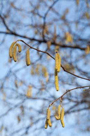 albero nocciola: Nocciola Catkins a rami degli alberi in primavera con il polline. Archivio Fotografico