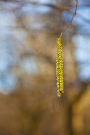 hazel: hazel catkins at tree branches in spring with pollen.