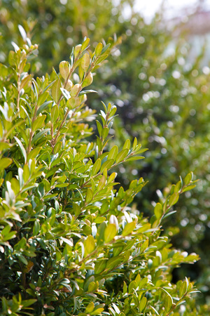 boxwood: boxwood plant in spring in a park in the sun.