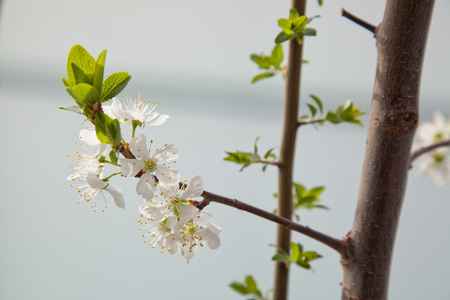 prune: Prune blossoms in spring on a balcony tree
