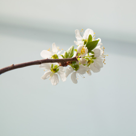 urban gardening: Prune blossoms in spring on a balcony tree