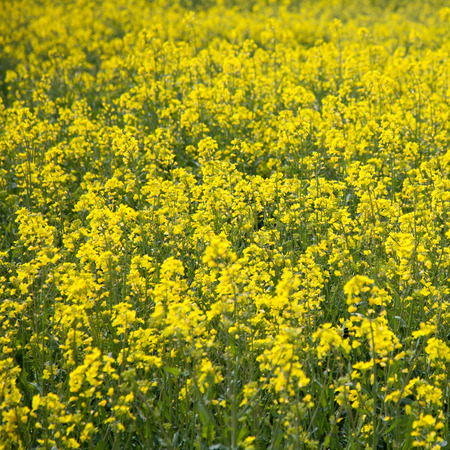 napus: Brassica napus, yellow plant for making vegetable oil.