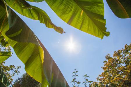 Sun shining through banana leaves