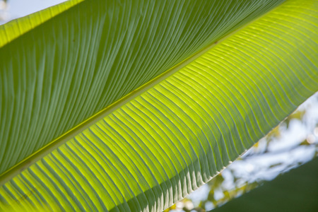 exotic plant: Closeup of Banana plant leaves with sun shadow textures. Stock Photo