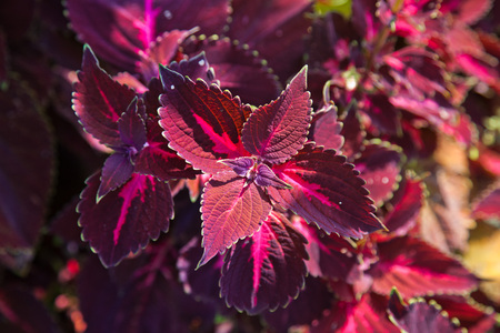 colour in: Solenostemon scutellarioides in red color in a park in sunlight
