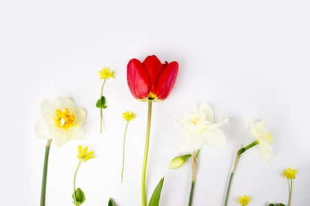 Decoration of Womens Day or Mothers Day. Frame of red tulips, narcissus, hyacinths and flowers muscari on white background with space for text. Banque d'images