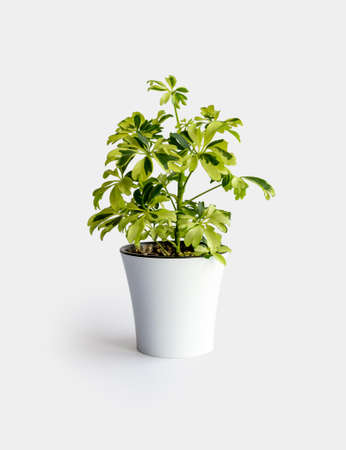 young Schefflera variegated a potted plant isolated over white Schefflera Arboricola Janine