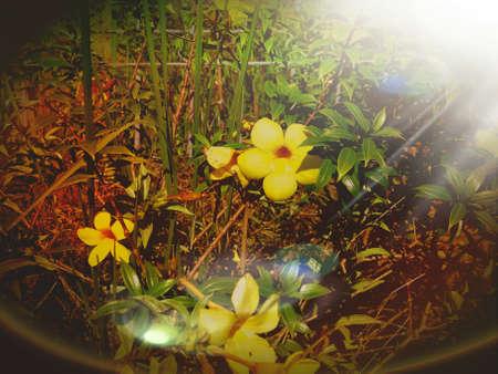 beautiful yellow flower garden and sunshine Stock Photo