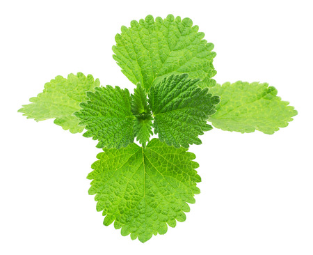 arvensis: Wild mint isolated on a white background