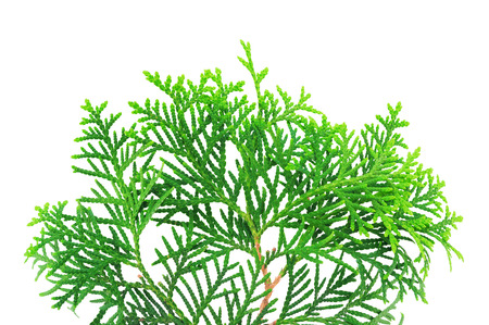 thuja occidentalis: Young branch of a thuja isolated on a white background