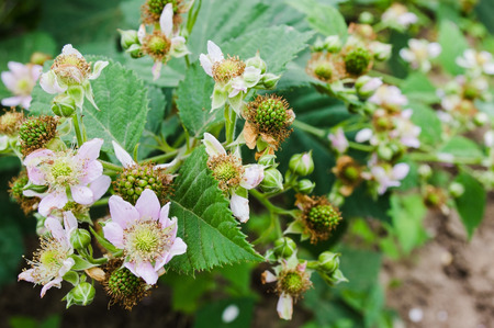unripe: Pink flowers and unripe fruits on blackberry branch