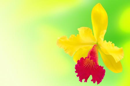 cattleya orchid: Flower cattleya orchid on a blurry background