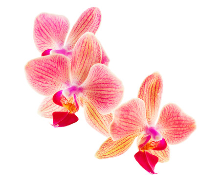 Phalaenopsis orchid flowers isolated on a white background