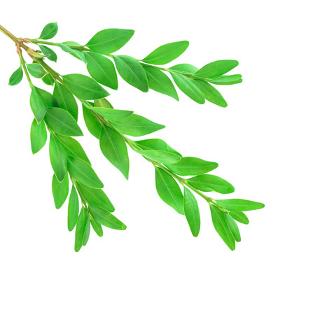 boxwood: Boxwood. Buxus sempervirens branch isolated on the white background Stock Photo