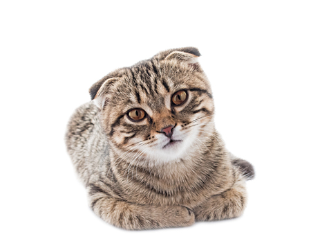 Young scottish fold cat isolated on the white background