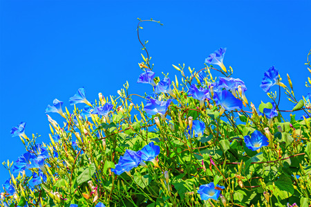 heavenly: Heavenly blue ipomoea (morning glory) flowers on the blue sky background Stock Photo