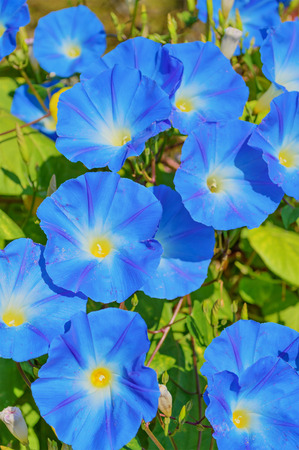 heavenly: Heavenly blue ipomoea (morning glory) flowers Stock Photo