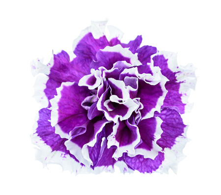 Terry petunia flower isolated on the white background