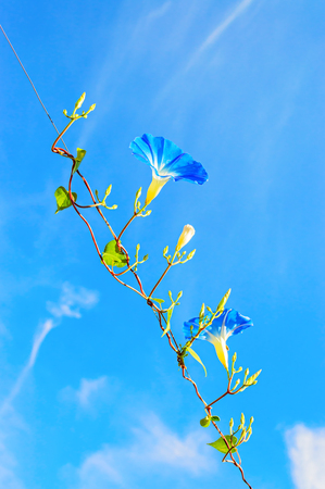 heavenly: Heavenly blue ipomoea (morning glory) flowers on the sky background Stock Photo