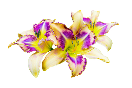Beautiful multicolored daylily (Hemerocallis) isolated on white background Stock Photo - 95563793