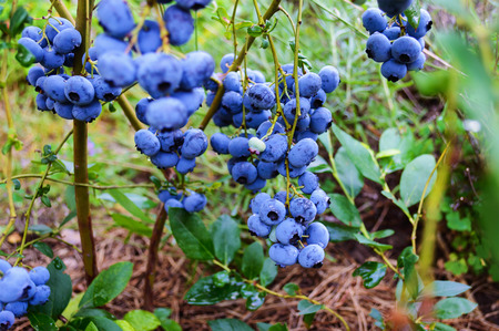 Branch of ripe blueberry in the garden