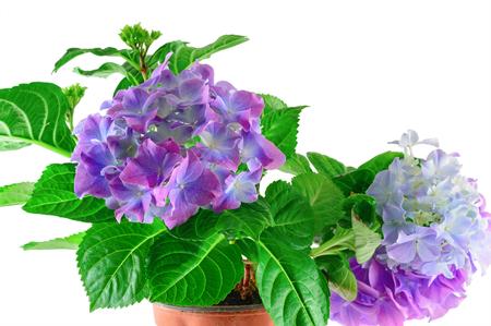 Blue hydrangea flowers on white background Stock Photo - 97468114