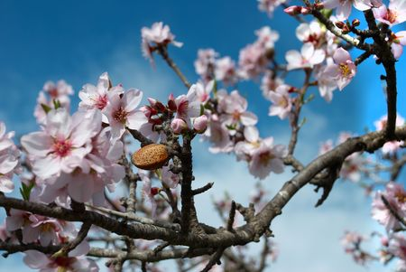 Almond nut on flowering tree photo