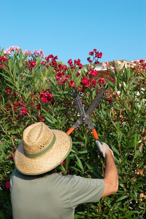 hedge clippers: Gardener pruning a flowering oleander hedge with pruning shears