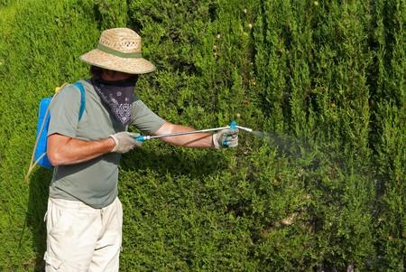 pesticide: A gardener spraying a lush hedge with pesticide