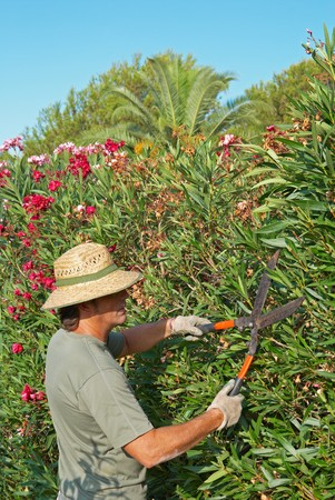 Gardener pruning a lush oleander hedge with shears photo