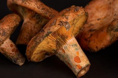 lactarius: Red pine mushroom, also known as saffron milk cap