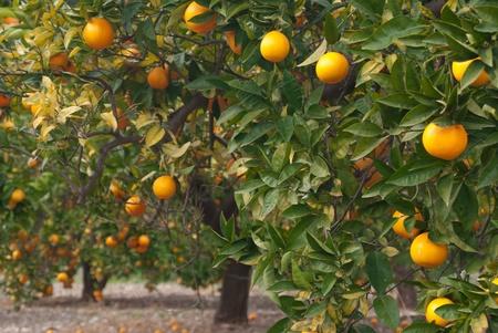 naranjas: Naranjo cargado con fruta fresca lista para seleccionar Foto de archivo