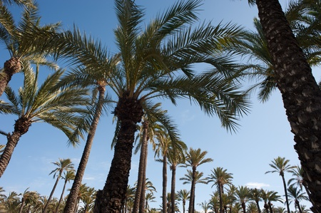 Canopy of palm tree tops against vibrant blue sky photo