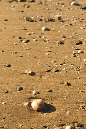 ashore: Beach sand background with assorted shells washed ashore